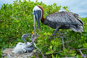 Brown pelican (Pelecanus occidentalis) feeding chicks at nest, Puerto Ayora / Academy Bay, Santa Cruz Island, Galapagos - Tui De Roy