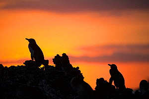Galapagos penguin (Spheniscus mendiculus) silhouetted at sunset, Elizabeth Bay, Isabela Island, Galapagos - Tui De Roy