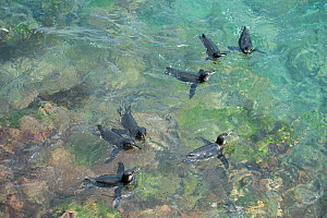 Galapagos penguin (Spheniscus mendiculus) group swimming in the sea, Black Beach, Floreana Island, Galapagos  -  Tui De Roy
