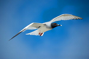 Swallow-tailed gull (Creagrus furcatus) in flight, Genovesa Island, Galapagos  -  Tui De Roy