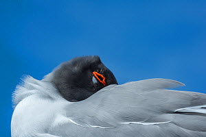 Swallow-tailed gull (Creagrus furcatus) resting with head under wing, Genovesa Island, Galapagos - Tui De Roy