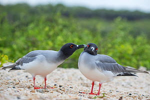 Swallow-tailed gull (Creagrus furcatus) preening another during courtship, Genovesa Island, Galapagos - Tui De Roy