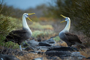 Waved albatross (Phoebastria irrorata) pair in courtship display at nest site, Punta Suarez, Espanola Island, Galapagos  -  Tui De Roy