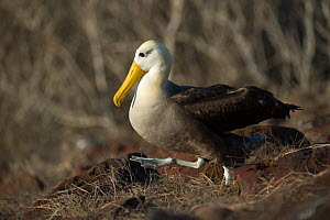Waved albatross (Phoebastria irrorata) walking through nest site, Punta Suarez, Espanola Island, Galapagos  -  Tui De Roy