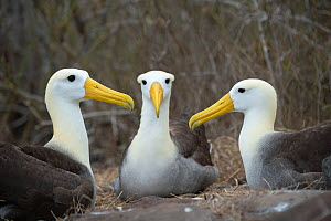Waved albatross (Phoebastria irrorata) group of three on nest, Punta Suarez, Espanola Island, Galapagos  -  Tui De Roy