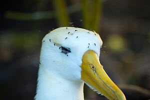 Waved albatross (Phoebastria irrorata) with face covered in mosquitos, Punta Suarez, Espanola Island, Galapagos  -  Tui De Roy
