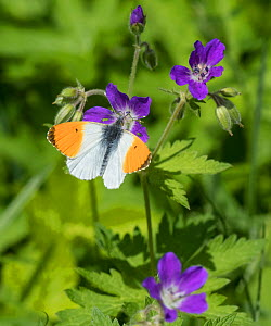 Orange-tip (Anthocharis cardamines), male feeding from Wood Cranesbill (Geranium sylvaticum), Finland, June.  -  Jussi  Murtosaari