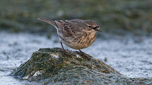 Eurasian rock pipit (Anthus petrosus) along coast, Finland, April.  -  Jussi  Murtosaari