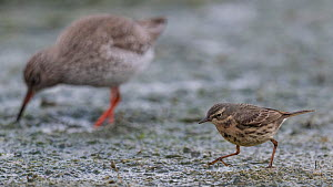 Eurasian rock pipit (Anthus petrosus), with Redshank (Tringa totanus), Finland, April.  -  Jussi  Murtosaari