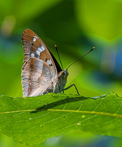 Lesser purple emperor butterfly (Apatura ilia), sitting on a leaf, Finland, August. - Jussi  Murtosaari