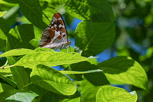 Purple emperor butterfly (Apatura iris), male on a leaf, Finland, August.  -  Jussi  Murtosaari