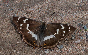 Purple emperor butterfly (Apatura iris), female on the ground, Finland  -  Jussi  Murtosaari