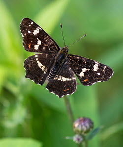 Map butterfly (Araschnia levana), male, Finland, August. - Jussi  Murtosaari