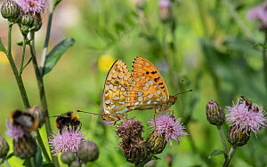 High brown fritillary (Argynnis adippe), male and female mating,  Finland, August.  -  Jussi  Murtosaari