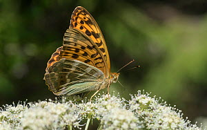 Silver-washed fritillary (Argynnis paphia), female feeding from flower, Finland, August. - Jussi  Murtosaari