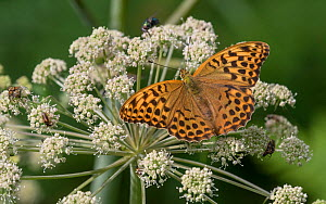 Silver-washed fritillary butterfly (Argynnis paphia), female feeding from flower, Finland, August. - Jussi  Murtosaari