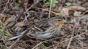 Twite (Carduelis flavirostris) camouflaged on ground, Finland, April.  -  Jussi  Murtosaari