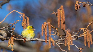 Eurasian siskin (Carduelis spinus), male on branch with catkins, Finland, April.  -  Jussi  Murtosaari
