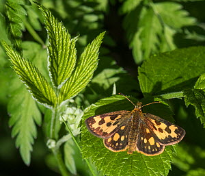 Northern chequered skipper (Carterocephalus silvicola), female, Finland, June. - Jussi  Murtosaari