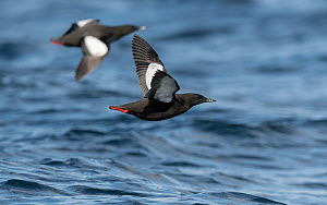 Black guillemots (Cepphus grylle) two flying over sea, Finland, April.  -  Jussi  Murtosaari