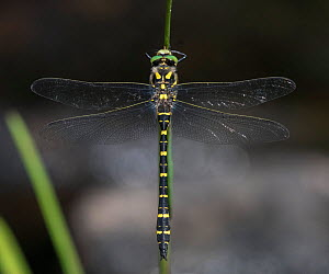 Golden-ringed dragonfly (Cordulegaster boltonii), male, Finland, August.  -  Jussi  Murtosaari