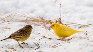 Yellowhammer (Emberiza citrinella), leucistic and normal form in snow, Finland, February. - Jussi  Murtosaari