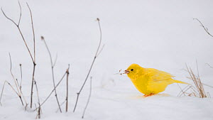 Yellowhammer (Emberiza citrinella), leucistic form in snow, Finland, February. - Jussi  Murtosaari