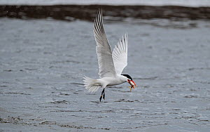 Caspian tern (Hydroprogne caspia) with fish prey, Finland, April.  -  Jussi  Murtosaari