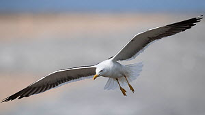 Lesser black-backed gull (Larus fuscus) in flight, Finland, August. - Jussi  Murtosaari