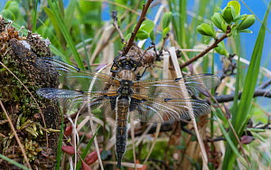Four-spotted chaser dragonfly (Libellula quadrimaculata) just emerged. Finland, June.  -  Jussi  Murtosaari
