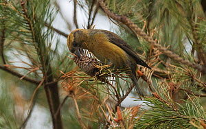 Parrot crossbill (Loxia pytyopsittacus), female with pine cone, Finland, May. - Jussi  Murtosaari