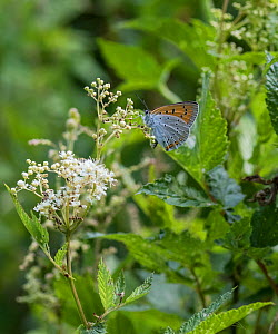 Large copper butterfly (Lycaena dispar), female,  Finland, July.  -  Jussi  Murtosaari