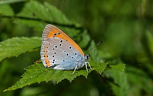 Large copper butterfly (Lycaena dispar), female showing under wing, Finland, July.  -  Jussi  Murtosaari