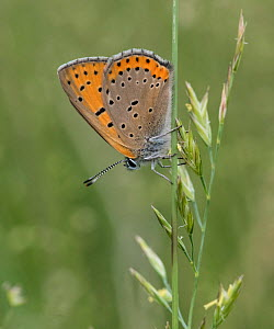 Purple-edged copper butterfly (Lycaena hippothoe) resting  on grass, Finland, July.  -  Jussi  Murtosaari