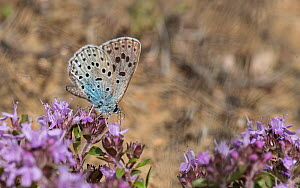 Large blue butterfly (Maculinea arion), feeding from Creeping Thyme (Thymus serpyllum), Finland, July.  -  Jussi  Murtosaari