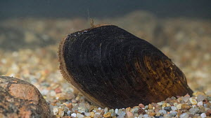 Freshwater pearl mussel (Margaritifera margaritifera), is an endangered species of freshwater mussel, Finland, March.  -  Jussi  Murtosaari