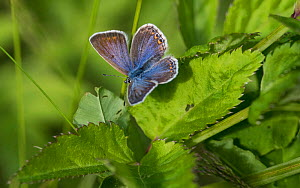Common blue butterfly (Plebeius icarus), female, Finland, July. - Jussi  Murtosaari