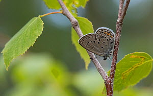 Cranberry blue butterfly (Plebeius optilete), male, Finland, July. - Jussi  Murtosaari