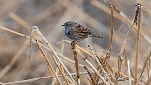 Dunnock (Prunella modularis) perched, Finland, April.  -  Jussi  Murtosaari