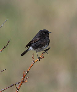Bush chat (Saxicola caprata), perched, Finland, May.  -  Jussi  Murtosaari