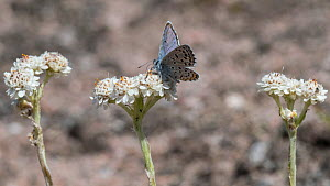 Eastern baton blue butterfly  (Scolitantides vicrama), male feeding on Mountain Everlasting (Antennaria dioica), Finland, June.  -  Jussi  Murtosaari