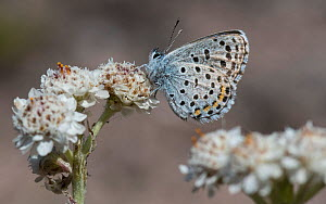 Eastern baton blue butterfly  (Scolitantides vicrama), male at Mountain Everlasting (Antennaria dioica), Finland, June.  -  Jussi  Murtosaari