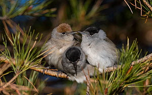 Blackcap (Sylvia atricapilla) female and two males huddling together for warmth before going to sleep, Finland, May.  -  Jussi  Murtosaari