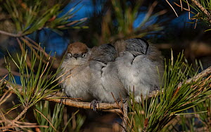 Blackcap (Sylvia atricapilla) female and two males huddling together for warmth  while sleeping, Finland, May. - Jussi  Murtosaari