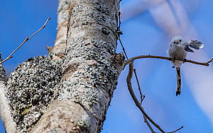 Long-tailed tit (Aegithalos caudatus caudatus) with feather for nest, Finland. April. - Jussi  Murtosaari