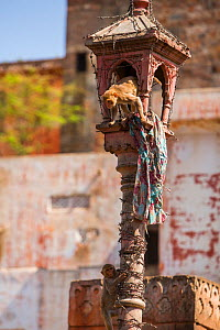Rhesus macaque (Macaca mulatta) climbing from lamp post,  Jaipur, Rajasthan, India.  -  Mark MacEwen