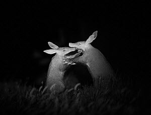 Aardvarks (Orycteropus afer) greeting each other at night, Makgadikgadi Pans, Botswana. Highly commended in the GDT European Wildlife Photographer of the Year Awards 2017.  -  Will Burrard-Lucas