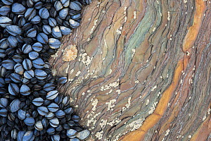 Colony of Common Mussels (Mytilus edulis) growing on striated rock formation exposed at low tide. Cornwall, England, UK. Highly commended in the Coast and Marine Category of the British Wildlife Photo...  -  Alex  Hyde