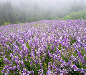 Mass of lowering  Broad-leaf lupines (Lupinus latifolius) at dawn, Bald Hills, Redwood National Park, California, USA. May 2017. - Jack Dykinga