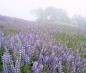 Field of Broad-leaf lupines (Lupinus latifolius) at dawn, Bald Hills, Redwood National Park, California, USA. May 2017. - Jack Dykinga